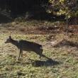 今期の猟期で、初めての鹿ゲット!