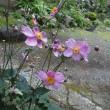 庭に咲いたシュウメイギク