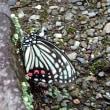 石にとまった蝶が気になる