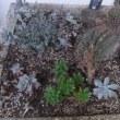 多肉植物エケベリアの花は何かしら