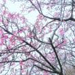 「冷たき雨に咲く」 いわき 新川の桜並木にて撮影! チョウベイザクラ