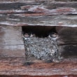 ベネチアでツバメの巣を発見!