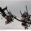 センダン〈栴檀〉の実を啄むムクドリ〈椋鳥〉