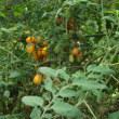 ミニトマトの棚の撤去