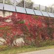 荘川の紅葉