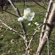 桃の台木が開花