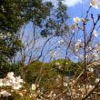 冬桜、四季桜見頃 フウ終盤、西洋シャクナゲ