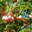 磐梯山の花
