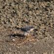 自分で巣を作らないハヤブサ   (Photo No.14394)