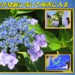 梅雨入り前 「紫陽花が綺麗に咲いて梅雨に入る」