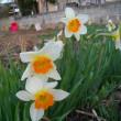 遅咲き水仙