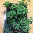 接ぎ木の野菜たち