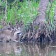 公園の池で出会った、アライグマ。