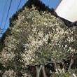 ヒイラギモクセイ 柊木犀