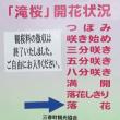 名物三春桜が・・柳?に・・4/25(水)GRE様No.4 皆様が笑顔で・・