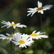 季節の花「マーガレット」