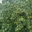 サトイモの茎