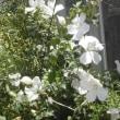越後の花火と白色ムクゲ