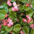 季節の花「ベゴニア」