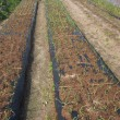 タマネギの畝に穴肥え用の穴を開けました。