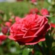 山下公園のバラ