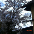 中野市も桜が満開です