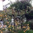 ◆台風前に柿を収穫。