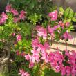 何故か今年の花は綺麗