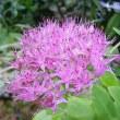季節の花「大弁慶草(おおべんけいそう)」