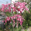 Prunus persica ❛Hikawa Shidare❜
