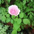 今日のバラと、お取り寄せ~♪