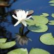 大船フラワーセンター睡蓮の花