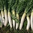 ★家庭菜園~大根を収穫!