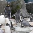 英国式ペンギンパレード3・王様