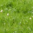 緑の草地にタデ科のポリゴヌム・ビストルタの花穂