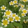 「おはようの花」 リムナンテス 5月