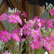 早春の草花展 (6)