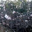 さくら便り:二季咲き性品種のさくら3種・・・