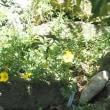 「金露梅の花が咲きました」 MY GARDEN 2018.07.16撮影