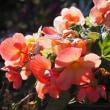 暖かな花色の球根ベゴニア
