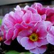 セントポーリアという花