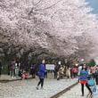 韓国人「ウワッ!ばれちゃったww」   韓国が桜の「起源」に固執する理由