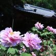 野田「清水公園」の牡丹