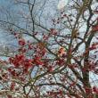 茨城県北2019年の2月・・紅いマンサク