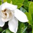 クチナシの花6.23