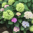 6月17日(日曜日)…白山神社あじさい