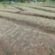 2017年10月7日:近所のタマネギ苗栽培風景です。