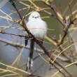 昨日の鳥 シマエナガ 枝止まり 1羽だけ4.5分止まって居て色々な表情を見せてくれました。