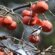 エナガ 柿の実を啄む
