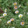 今日の庭から白い花